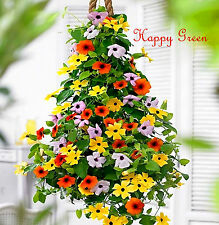 Thunbergia Mix - Black Eyed Susan Vine - Thunbergia Alata - 35 seeds flower