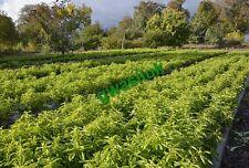 1000 NON GMO STEVIA REBAUDIANA SEEDS  FREE LEAVES SAMPLE INCLUDED !