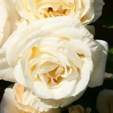 Züchter-Rose Kletterrose ' Schneewalzer ' weiß mit süssem Duft 2 Liter Topf