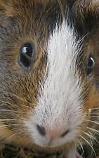 Guinea Pig in Your Face: Cute Journal 120 Page, 5x8, Lined Blank Book with a...