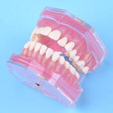 Dental Teaching Study Adult Standard Typodont Demonstration Teeth Model
