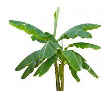 Ensete ventricosum [syn. Musa ensete]  (Abyssinian Banana) - 5 seeds