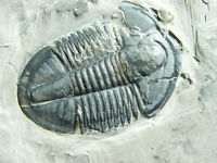 A BIG! Nice and 100% Natural Asaphiscus Trilobite Fossil From Utah 855gr *A