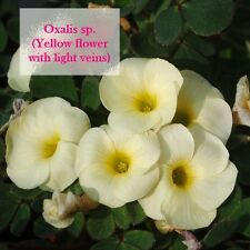 1 bulb Oxalis sp. (Yellow flower with light veins)