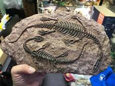 Dinosaur Keichousaurus Skeleton Fossil Resin Replica Figurine Model