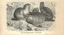 Stampa antica SCOIATTOLO DI TERRA EUROPEO CITELLO SQUIRREL 1891 Antique print