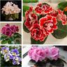 50 PCS Seeds African Violet Mix Flowers Bonsai Saintpaulia Ionantha Perennial N