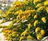 CANADA GOLDENROD Solidago Canadensis - 5,000 Bulk Seeds