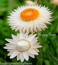 STRAWFLOWER WHITE- Helichrysum bracteatum - 900 seeds - EVERLASTING FLOWER