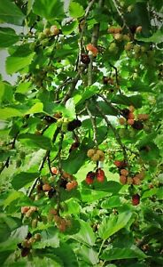 5 Red Mulberry 1 foot tall  bareroot tree