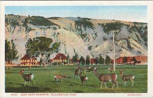 WB Haynes postcard, Dear Near Mammoth, Yellowstone National Park