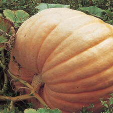 Pumpkin ATLANTIC GIANT-Pumpkin Seeds-POTENTIAL SHOW WINNER-15 LARGE, FRESH SEEDS