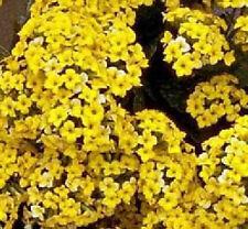 Kalanchoe blossfeldiana yellow flower, rare mesembs succulents  seed 100 SEEDS