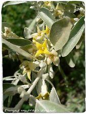 Elaeagnus angustifolia 'Acebuche/ruso Oliva' 25+ semillas
