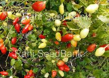 Aji Céreo - A Rare Multicolored Chilli that Produces Masses of Beautiful Chilli