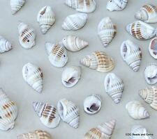 Natural Spiral Sea Shell - Spiral Shell Bead- Seashell -15mm - 30mm  - 25 Shells