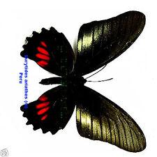 Eurytides ariarathes (m) - Tingo Maria, Peru
