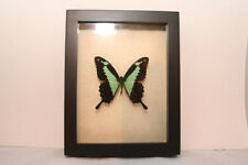 Papilio Phorcas. Wunderschöner Schmetterling in Schaukasten mit UV-Schutzglas