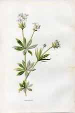 Stampa antica fiori STELLINA ODOROSA Galium botanica 1878 Old Print flowers