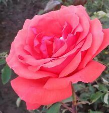 Garden Bush Rose Fragrant Cloud in a 3.5 litre Pot