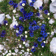 Echter Alpenenzian•20 Samen/seeds•Kalk-Glocken-Enzian•Gentiana clusii•winterhart