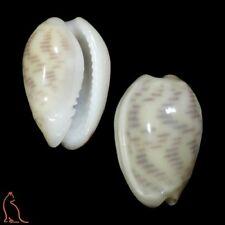 Marginella Persicula interruptolineata, Venezuela, Marginellidae sea shell