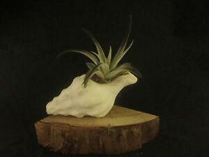 Airplant Tillandsia Harrisii Black with Sea Shell and CA Redwood