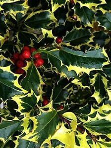 Ilex Madame Briot Holly Plant Large 3ft Supplied in a 3 Litre Pot