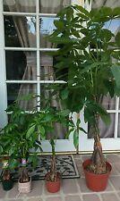 (3) Money Tree / Feng Shui Plant / Good Luck Tree + FREE 1 Plant Food