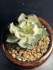 Echeveria strictiflora 剑司诺娃Pot ø 7cm  succulent/piante grasse/多肉