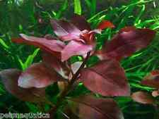 25 x Red Ludwigia live plant for tropical aquarium fish tank colour