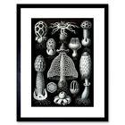 Nature Ernst Haeckel Fungus Mushroom Toadstool Biology Germany Framed Wall Art P