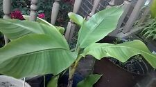 Banana Plants (Live plants in 3 containers for Local pick up)