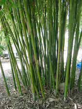 50+ Moso Bamboo Seeds Phyllostachys Pubescens Giant Bamboo