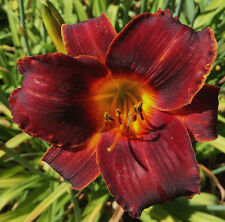 Daylily Congo Dancer dark red black hemerocallis Perennial ~ Df or 2 Plants