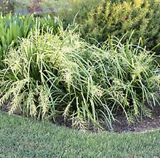 TROPIC CASCADE Lomandra hystrix native hardy ornamental grass plant in 120mm pot