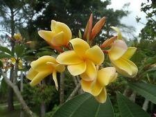 Fragrant Rare Exotic Acapulco Gold Plumeria Frangipani cutting + Plumeria Obtusa