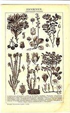 1890 BOTANICAL,PLANTS,Arbutus,Wintergreen,Spruce,Asparagus Dicotyledonous Print