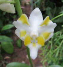 "Doritis Champorensis (White) Orchid Live Plant - 4"" Pot -"