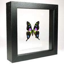 Real taxidermy butterfly mounted in double glass frame - Graphium Weiskei