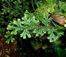 Selaginella kraussiana Krauss's Clubmoss Mini Terrarium House Plant Groundcover