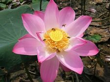 10 SEEDS PINK DAY LOTUS NELUMBO NUCIFERA POND PLANT NOT WATER LILY