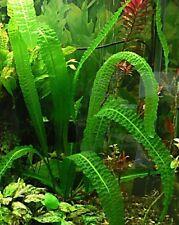 Aponogeton boivinianus TRES BEAU  plante facile feuilles gauffrées