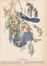 "1942 Vintage AUDUBON BIRDS #87 ""FLORIDA JAY"" LOVELY Color Art Plate Lithograph"