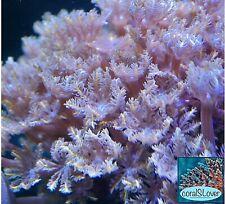 "live coral. Orange Line Clove Polyp 15+ Heads. ""coralSlover"""