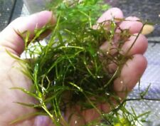 Najas Guppy Grass Live Aquarium Plant Handful