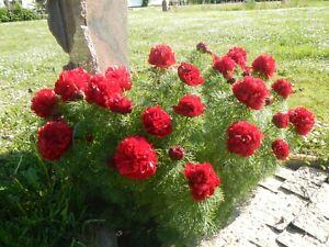 "Paeonia tenuifolia ""Plena""- Gefüllte Netzblatt-Pfingstrose ( Dill Pfingstrose)"