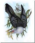 Vintage John Gould Australian Bird Art CANVAS PRINT~ Cuckoo Channel-bill 16