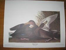 Havell Audubon Black Duck (Anas Rubripes) Lithograph 15 ¾ x 12 London