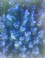 Echium  Blue Bedder Flower Seeds